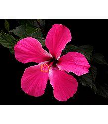 Rose Pink Hibiscus