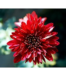 Red Dahlia Picture - Photographic Print