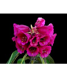 Red Rhododendron in Shingba Sanctuary, Yumthang - North Sikkim, India