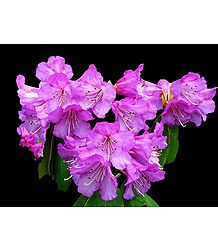 Magenta Rhododendron - Photo Print