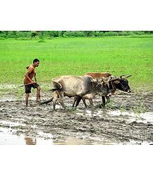 Farmer Ploughing Field near Sanchi - Madhya Pradesh, India