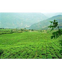 Temi Tea Garden in Ravangla - South Sikkim, India