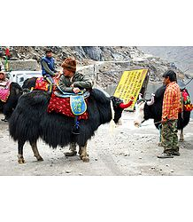 Yaks Near Tsomgo Lake, Gangtok - East Sikkim, India