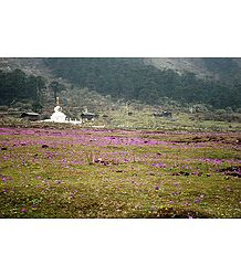 Blooming Primulas in Valley of Flowers, Yumthang - North Sikkim, India