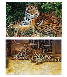 Royal Bengal Tiger and Hunting Cheetah - Set of 2 Postcards
