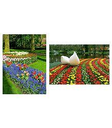 Keukenhof Garden in Netherlands  - Set of 2 Postcards