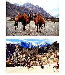 Polo Match at Leh and Double Hump Camels in Nubra Valley, Ladakh - Set of 2 Postcards