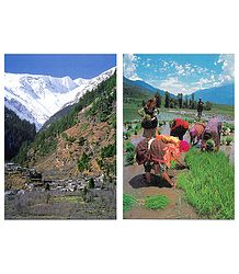 Himalayan View & Planting Rice, Kullu - 2 Postcards