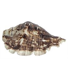 Queen Conch Sea Shell for Decoration
