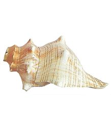 Striped Fox Shell for Decoration