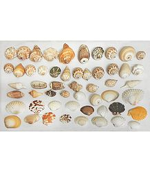 Assorted Sea Shells for Decoration
